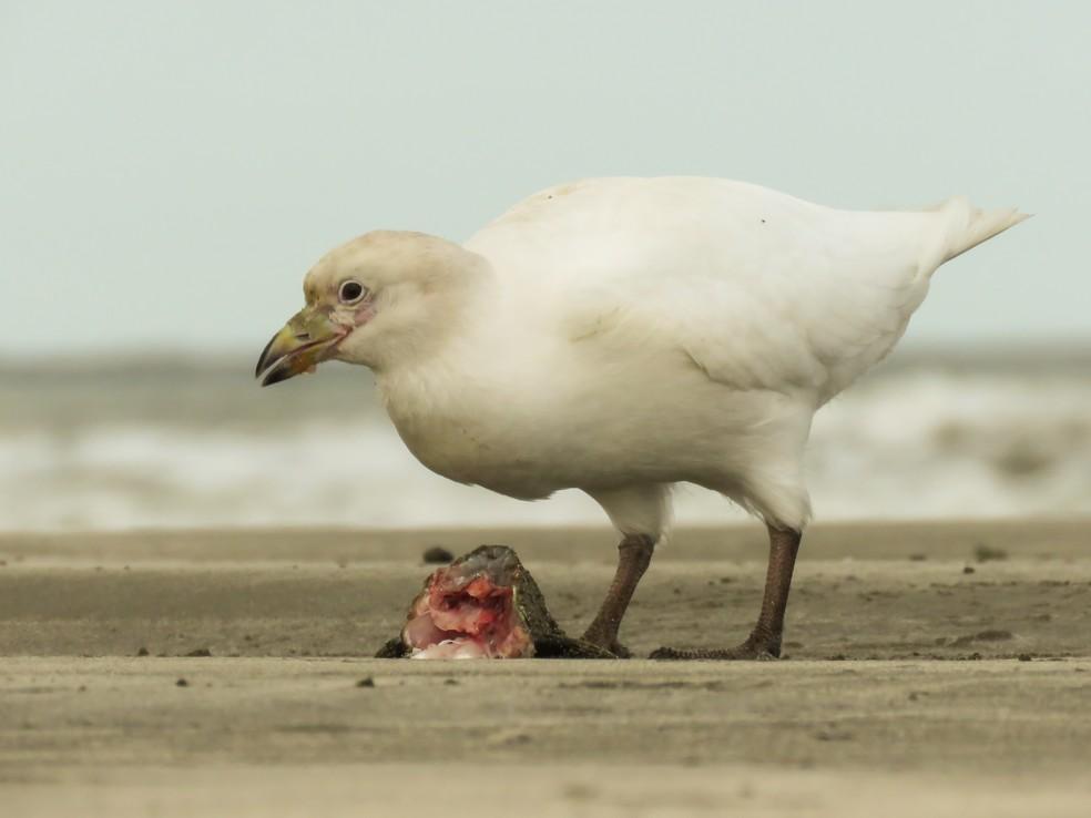 Espécie se alimenta de restos de peixes, vísceras e invertebrados — Foto: Raphael Kurz/VC no TG