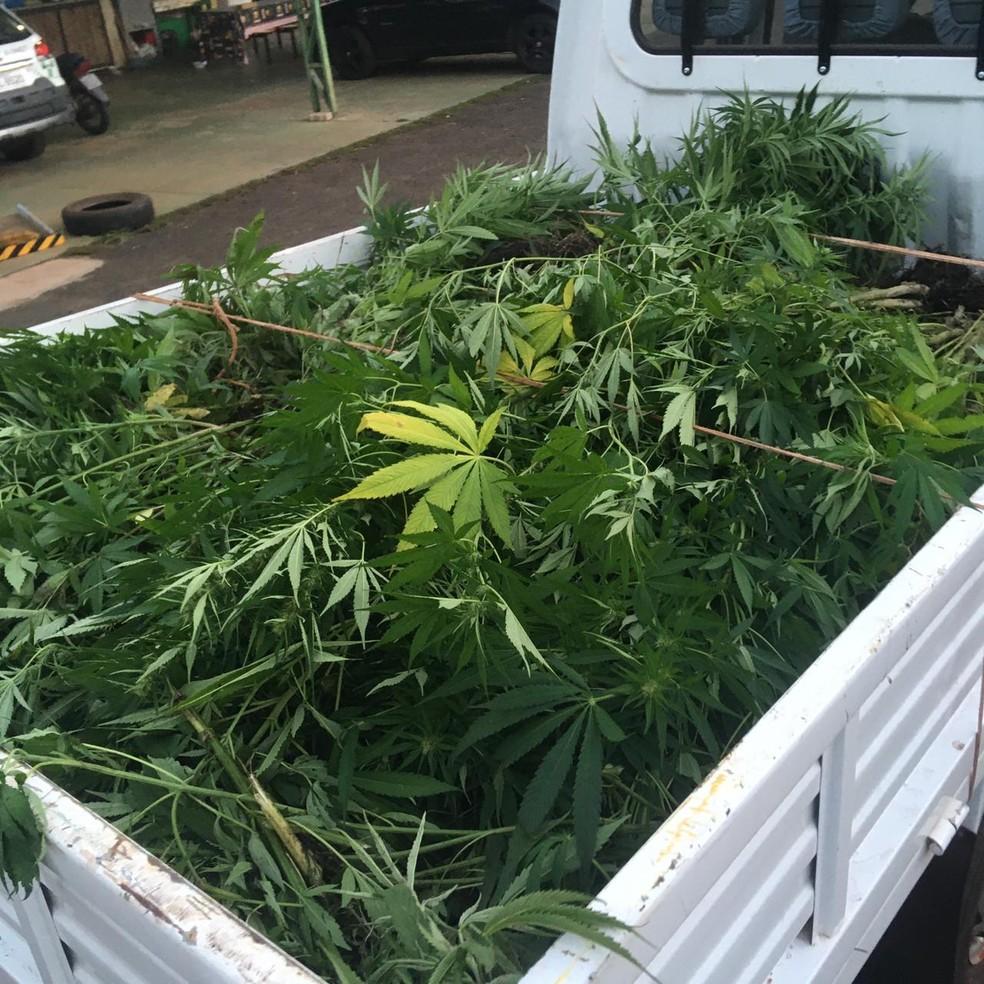 A Polícia Ambiental apreendeu os 600 pés de maconha que totalizam 320 kg da droga em Ibitinga (SP), mas o responsável ainda não foi encontrado — Foto: Polícia Ambiental/ Divulgação