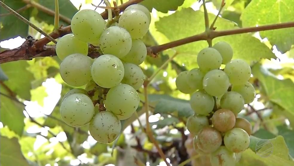 Embrapa demonstra potencial de MT para produção de uva — Foto: TVCA/Reprodução