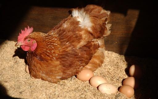 Resultado de imagem para galinha botou fotos