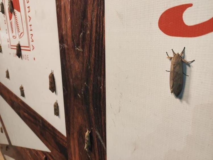 Invasão de mariposas chama atenção de moradores e comerciantes em Blumenau