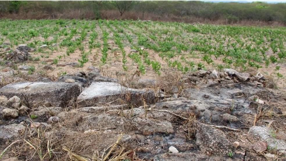 Plantação de palma em área recém-queimada em Alagoas — Foto: IMA-AL