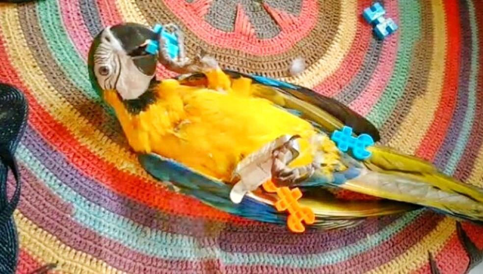 """A arara Jade quando machucou o pé, fazia """"fisioterapia"""" com pecinhas de brinquedo. — Foto: Arquivo pessoal"""