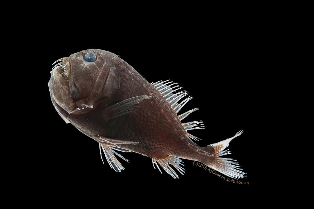 """Mecanismos presentes na pele do peixe-ogro (""""Anoplogaster cornuta"""") evitam que luz escape e ajudam o bicho a se proteger — Foto: Karen Osborn/Smithsonian/Handout via REUTERS"""
