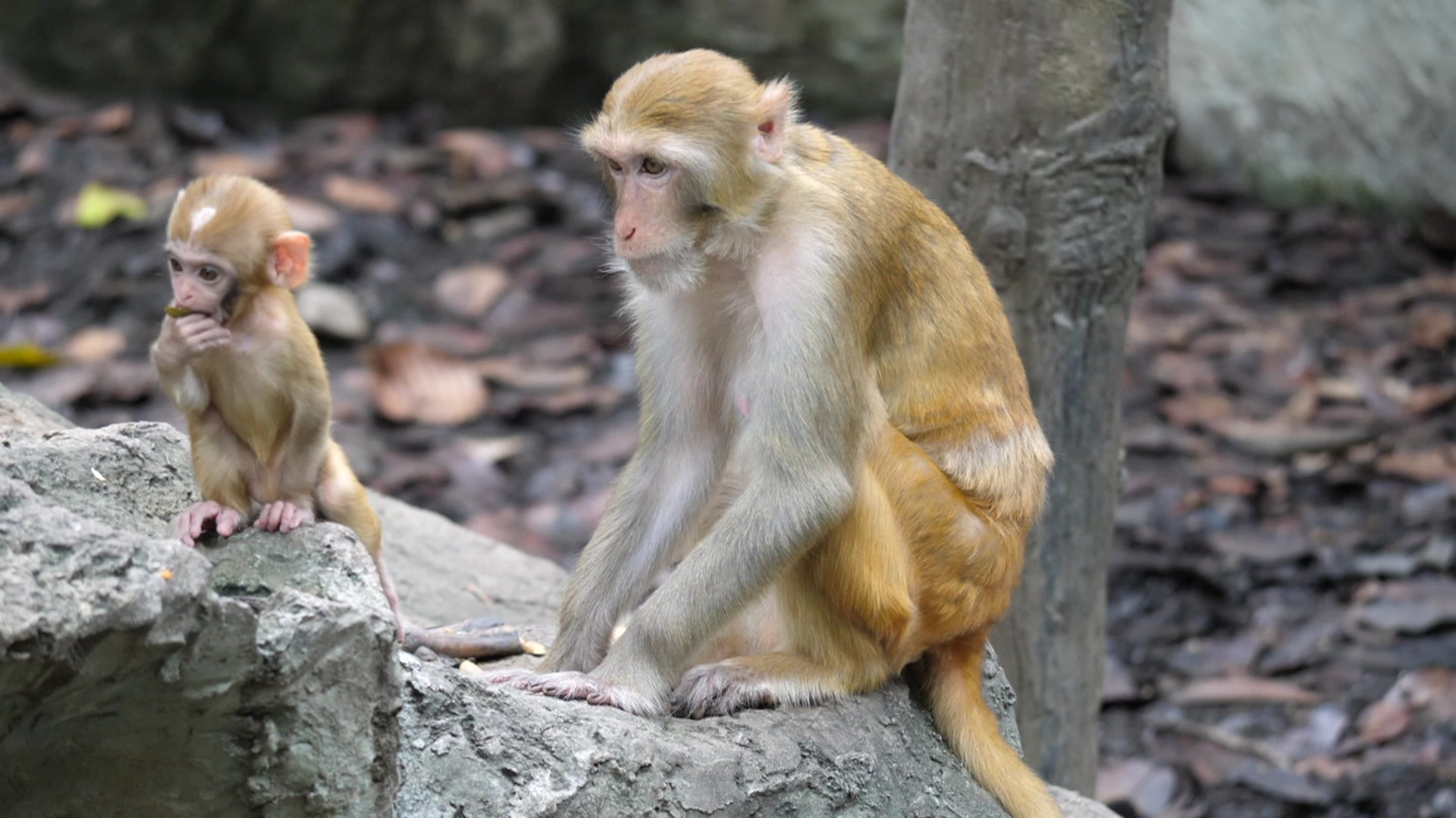 O que acontece quando cientistas implantam genes humanos em cérebros de macacos (Foto: BBC News)