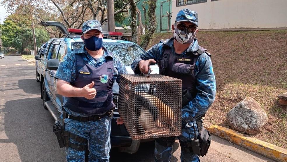 Tamanduá-mirim é resgatado em área atingida por queimadas em Botucatu — Foto: Guarda Civil Municipal / Divulgação