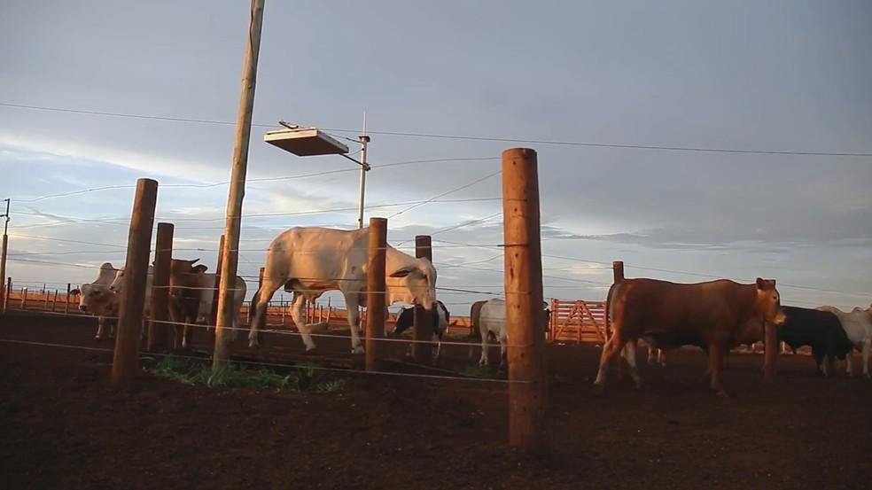 Plataforma instalada no campo evita que bois sejam levados ao curral para acompanhamento Agrishow 2018 (Foto: Divulgação)