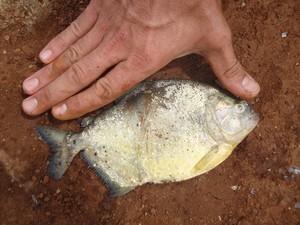 Infestação de piranhas, que são naturalmente agressivas, foram descobertas durante operação para combater pesca ilegal (Fot Michel Wagner Teixeira)