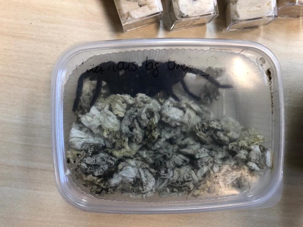 Aranhas apreendidas em pacote dos Correios — Foto: PF/Divulgação