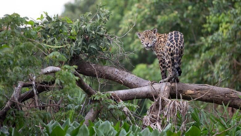 onça-floresta-mata-animal (Foto: iStock/Getty Images)