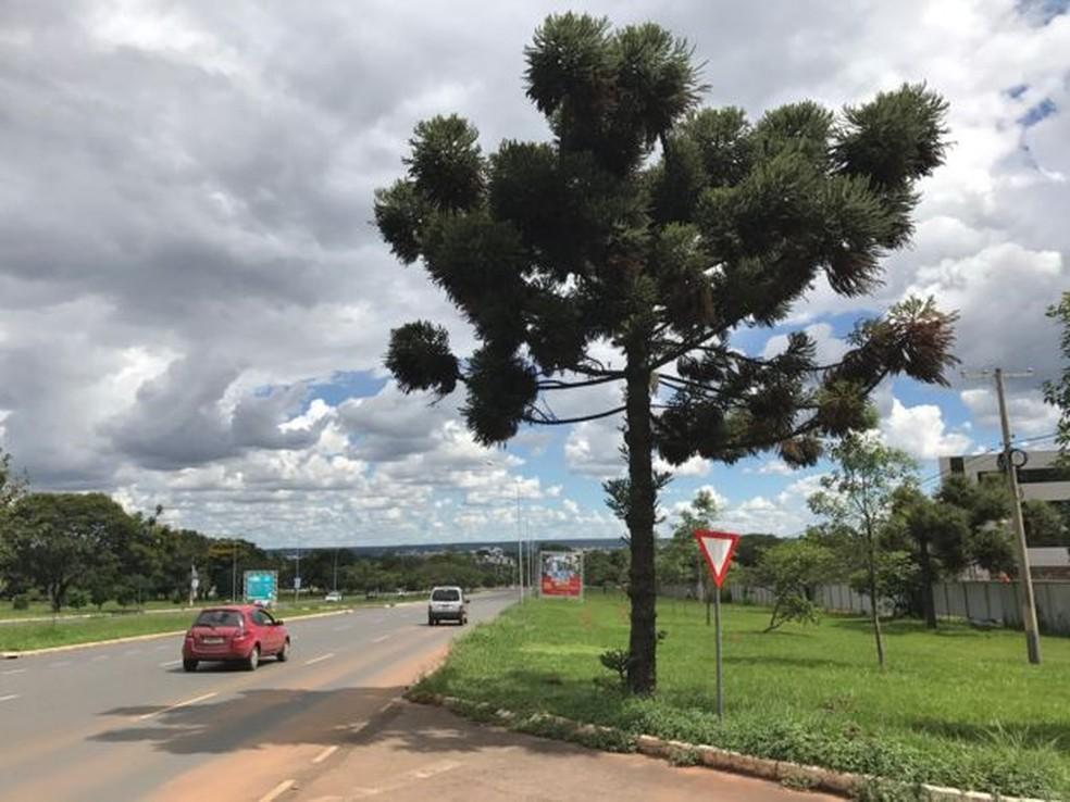 Araucária é um pinheiro nativo do Brasil (Foto: BBC)