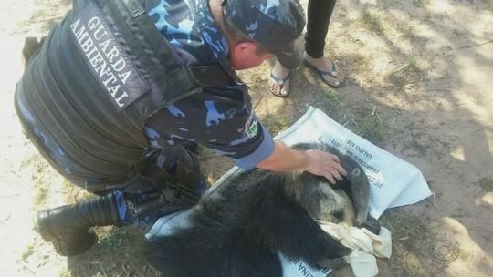 Filhote de tamanduá é resgatado após ser atacado por cães em Botucatu