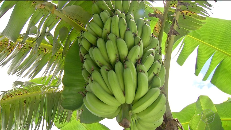 Produção de banana no Assentamento 14 de agosto — Foto: TVCA/Reprodução