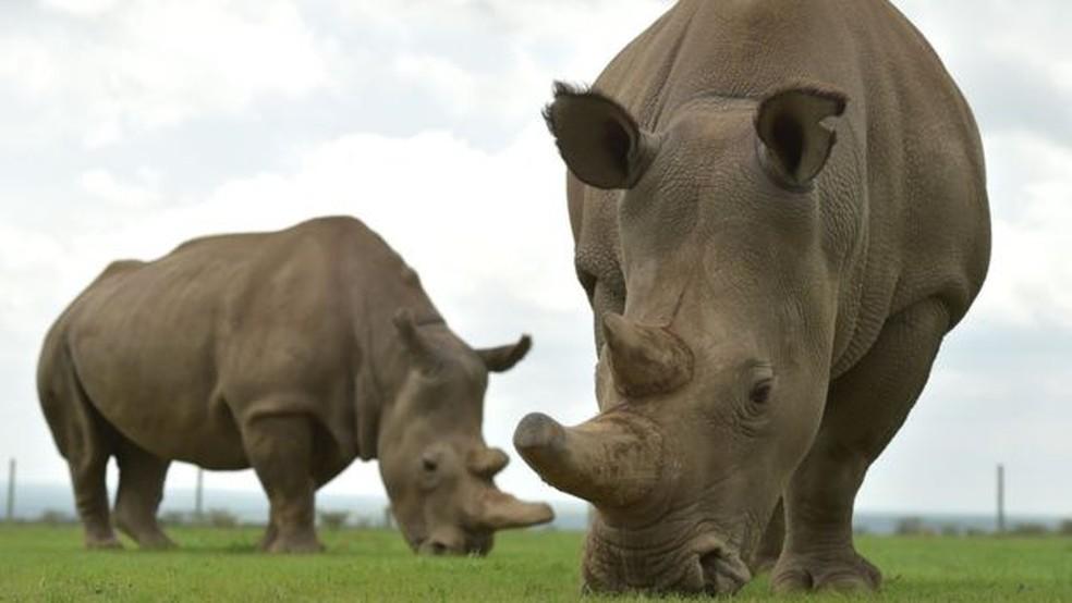 De 2007 a 2014, a matança de rinocerontes na África do Sul cresceu 9.000% (Foto: AFP)