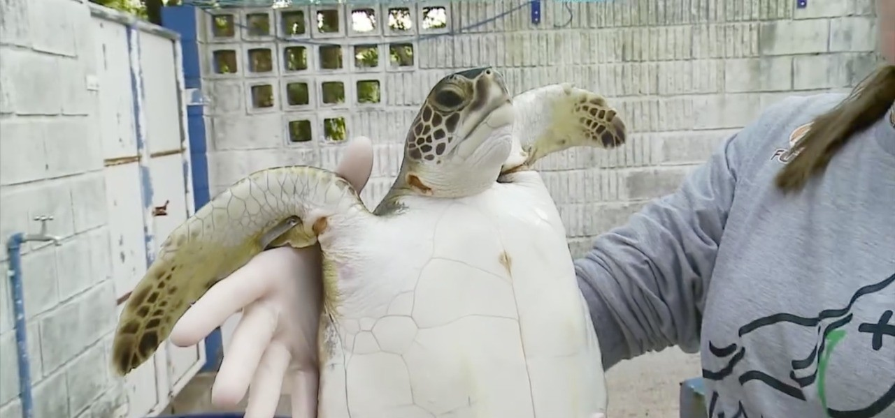 Tartaruga e leão marinho resgatados são devolvidos ao mar em Rio Grande