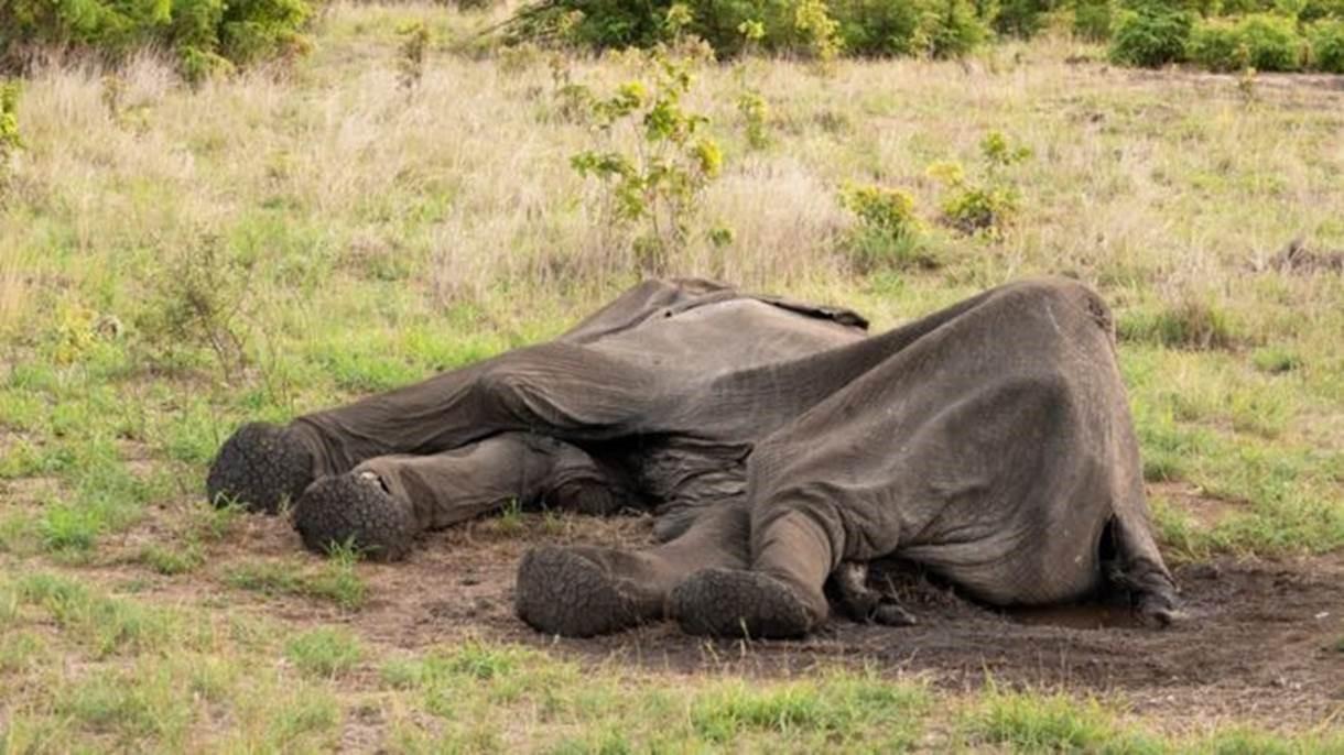 Ao menos 55 elefantes morrem de fome em meio à seca no Zimbábue - Notícias - Plantão Diário