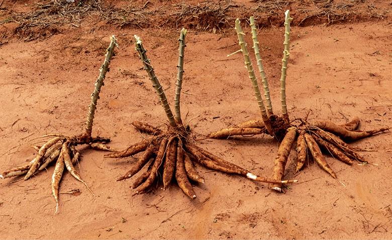 À esquerda, a mandioca mais plantada e, ao lado, as novas variedades (Foto: Divulgação)