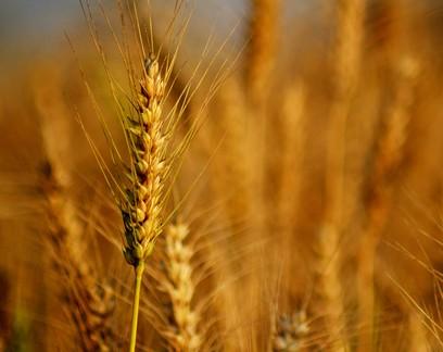 Plantio de trigo no PR avança para 85% da área sem problemas com o clima
