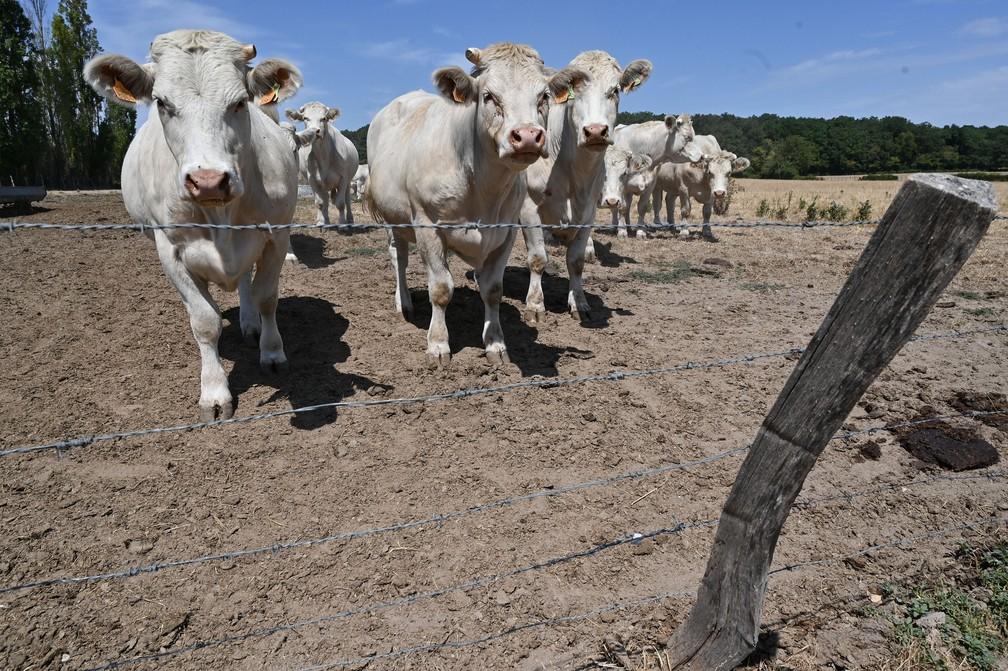 Vacas charolesas são vistas em um campo seco em uma fazenda no vilarejo de Saint-Nicolas, centro da França, na segunda-feira (10). A criação de gado charolês é praticada em prados naturais não irrigáveis e é totalmente dependente da chuva — Foto: Philippe Desmazes/AFP