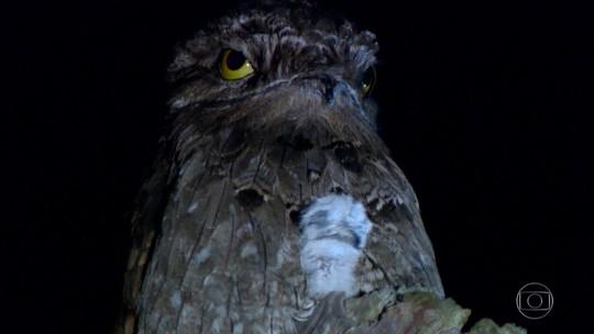 Conhecida como ave fantasma, o urutau é mestre dos disfarces