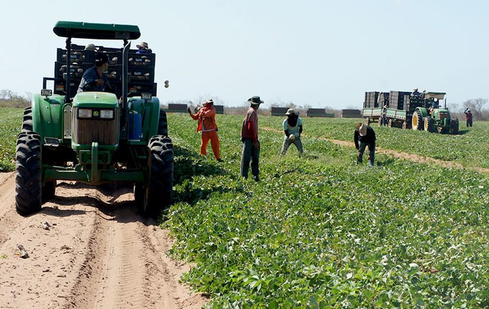 Fazendas no RN produzem 96% do melão exportado pelo Brasil (Foto: Anderson Barbosa/G1)