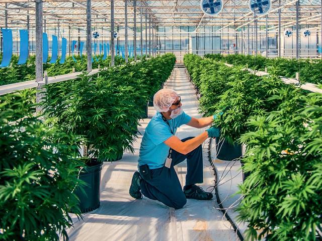 Agronegócio Canábico: Estufa da Canopy Growth no Canadá: a filial no Brasil está a postos para a regulamentação do setor (Foto: Divulgação)