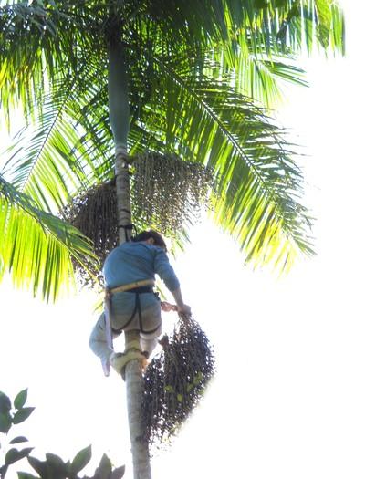 açaí-palmeira-jussara (Foto: Divulgação)