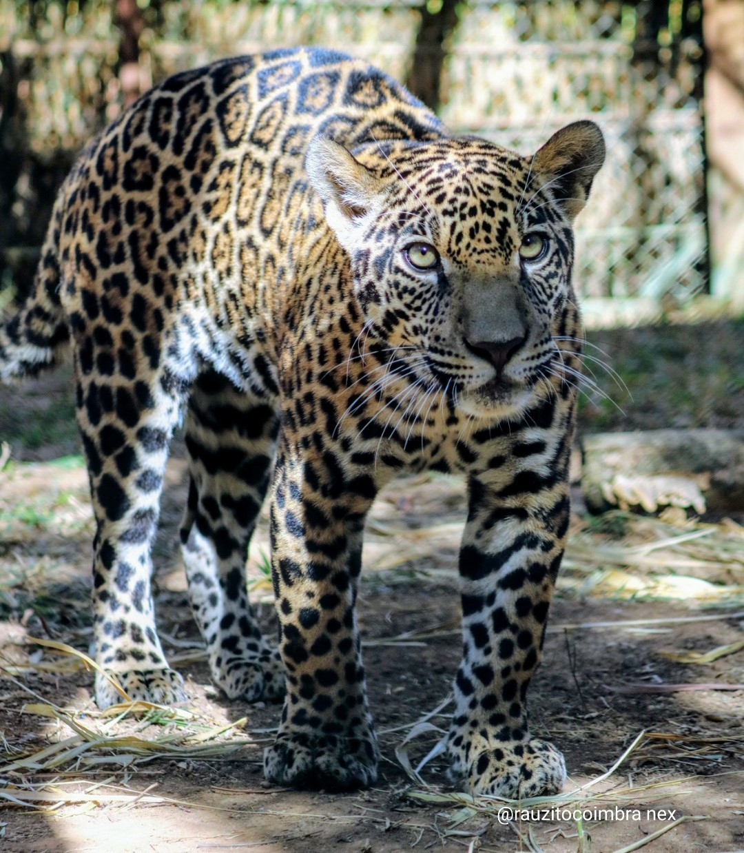 Filhote de onça deixado em pet shop em MT passa por reabilitação e será levado para floresta na Argentina  - Notícias - Plantão Diário