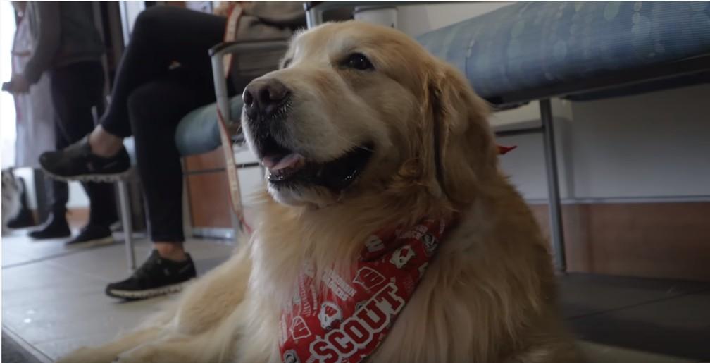 O golden retriever Scout, de 7 anos, sobreviveu a um câncer — Foto: Reprodução/YouTube uwmadison