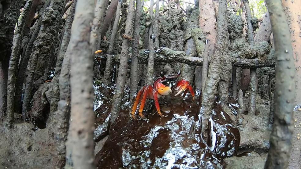 Manguezais são alguns dos ecossistemas sensíveis afetados por óleo que vem do mar em Pernambuco — Foto: Clemente Coelho Júnior/Reprodução