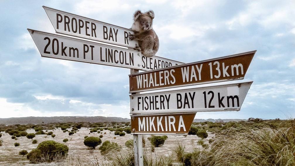 Coala sobe em placas para 'saudar' turistas na Austrália (Foto: Xplore Eyre by Australian Wildlife Adventures/Facebook)
