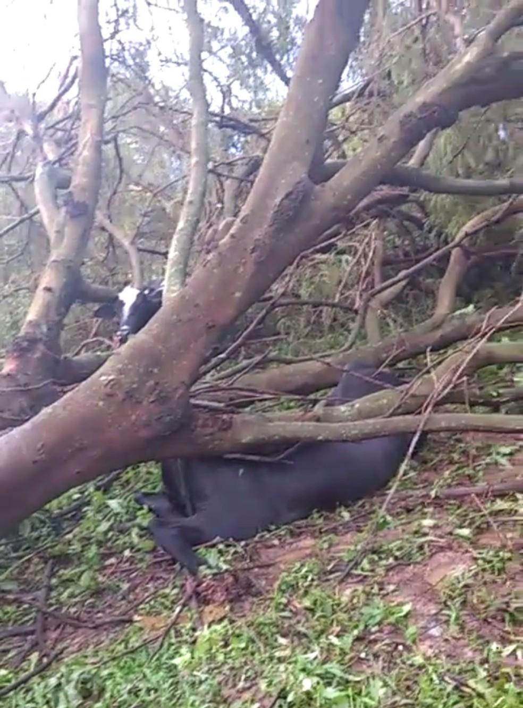 Animais foram atingidos por árvore que caiu durante tempestade (Foto: Arquio Pessoal )