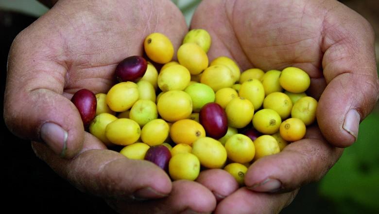 colheitacafé (Foto: divulgação/Nestlé)