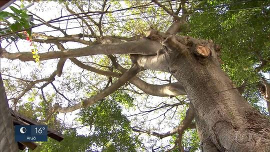 Obra ameaça árvore centenária no Ipiranga