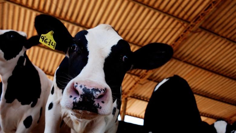 bezerro-gado-pecuaria-bovino-holandesa (Foto: Rogério Cassimiro/Ed. Globo)