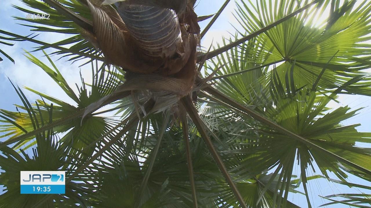 Pesquisa quer identificar quantas espécies de palmeiras existem e como são usadas no Amapá