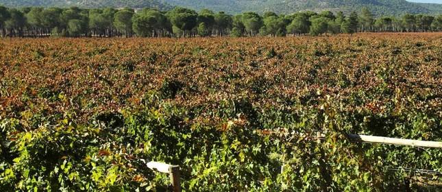 Vinhedo da Villacreces, em Ribera del Duero: produção do vinho espanhol Pruno