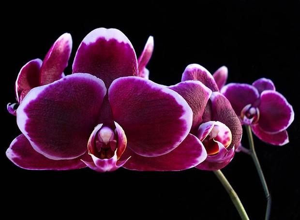 Orquídea Phalaenopsis everspring (Foto: Sergio Oyama Junior/Divulgação)