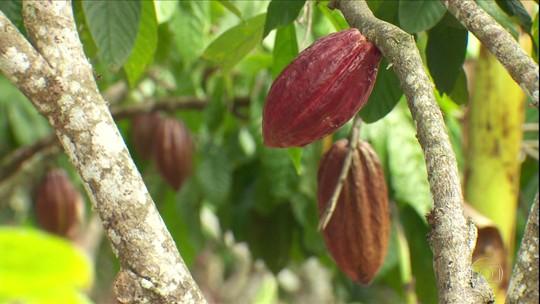 Livro grátis na internet dá dicas sobre cultivo de cacau