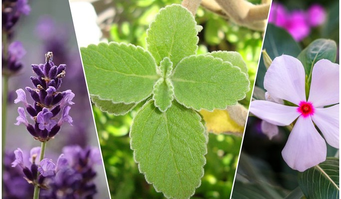 Plantas medicinais: 12 espécies para cultivar em busca da saúde