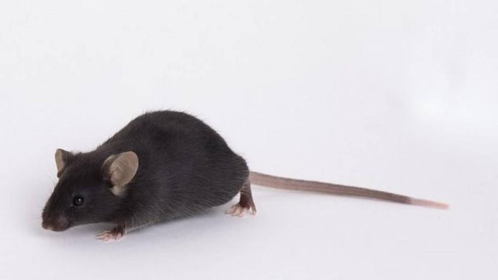 Ratos de laboratório 'comuns' não são infectados pelo novo coronavírus - por isso as pesquisas usam animais geneticamente modificados — Foto: Divulgação
