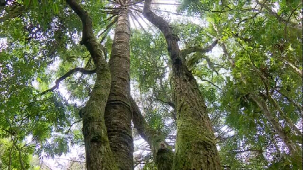 Árvores-mães alimentam seus 'filhos' e a população vizinha