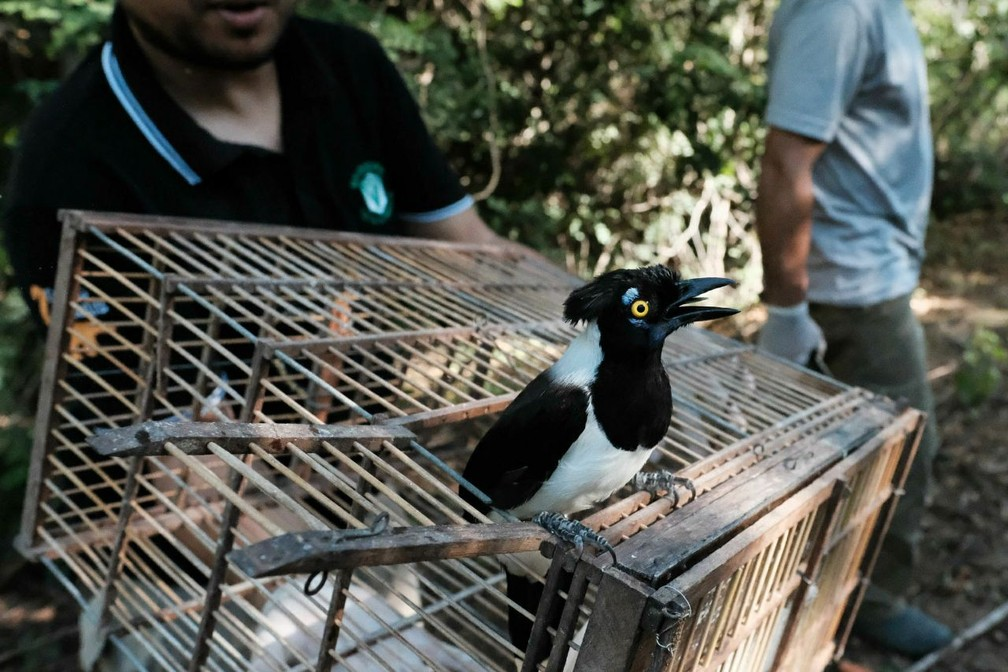 Depois que as aves conseguirem se reproduzir, as novas gerações serão silvestres, ficando longe do contato humano (Foto: Jonathan Lins/MP-AL)