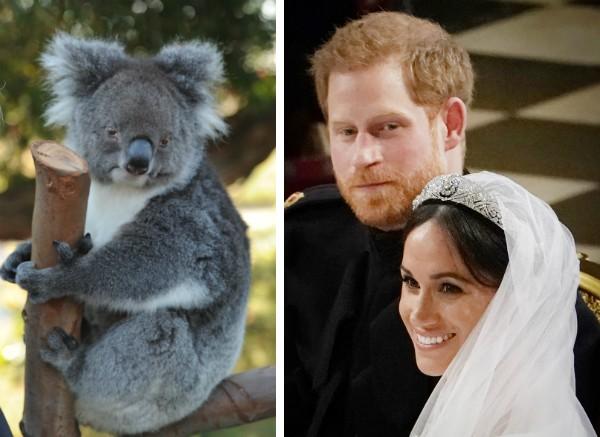 A atriz Meghan Markle, o Príncipe Harry e um coala (Foto: Getty Images)