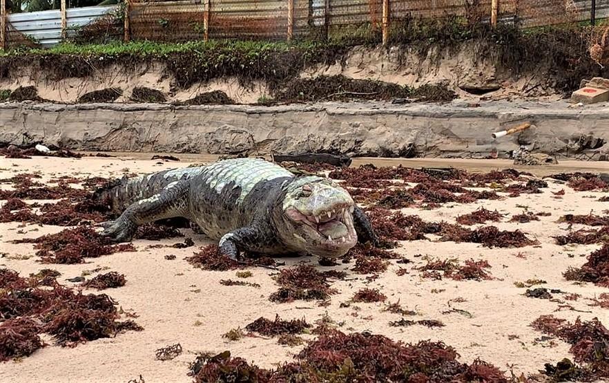 Jacaré é encontrado morto na praia da Penha, em João Pessoa