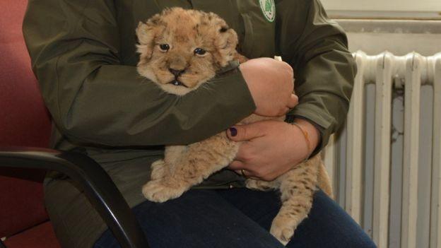 Este filhote de leão foi levado ilegalmente para a Turquia neste ano (Foto: Getty Images via BBC News Brasil)