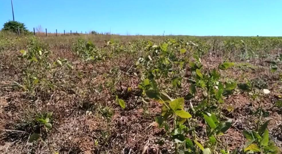 Produtores rurais são multados por ocorrência de plantas guaxas nas fazendas — Foto: Reprodução/TVCA