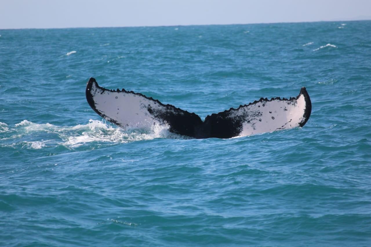 Grupo de baleias jubarte é fotografado por pesquisadores  no litoral potiguar