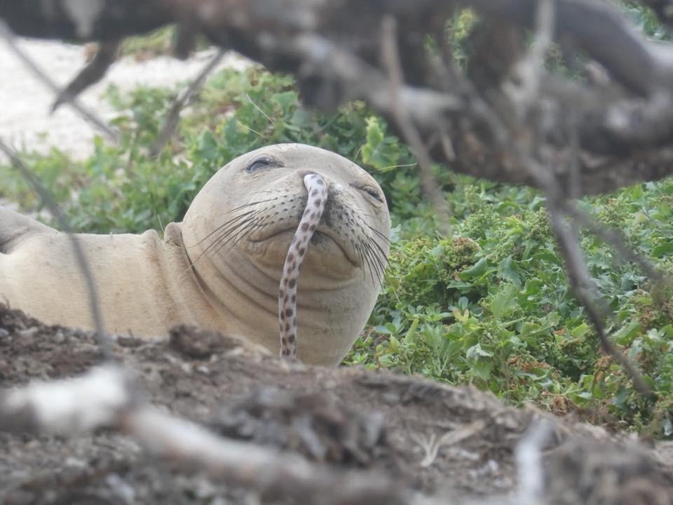 Foca-monge parece tranquila, apesar de ter uma enguia de mais de um metro enfiada no nariz.  (Foto: Hawaiian Monk Seal Research Program)