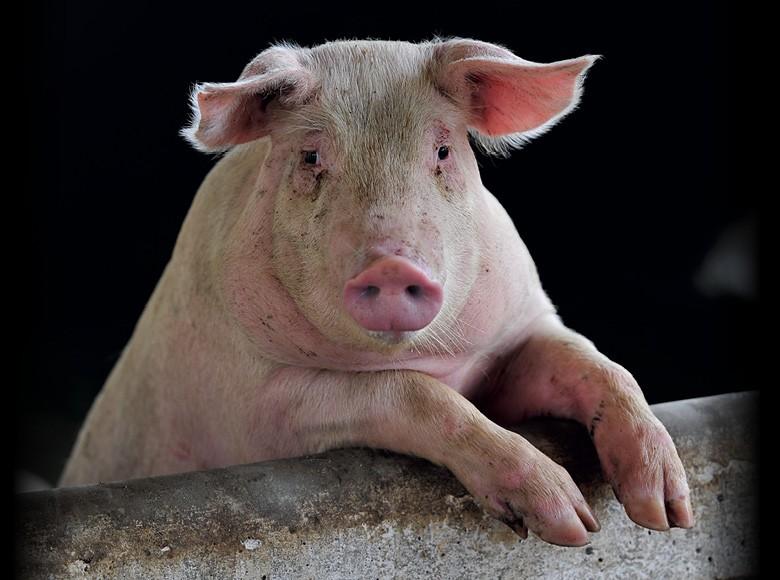 Porco (Foto:  Thinkstock)